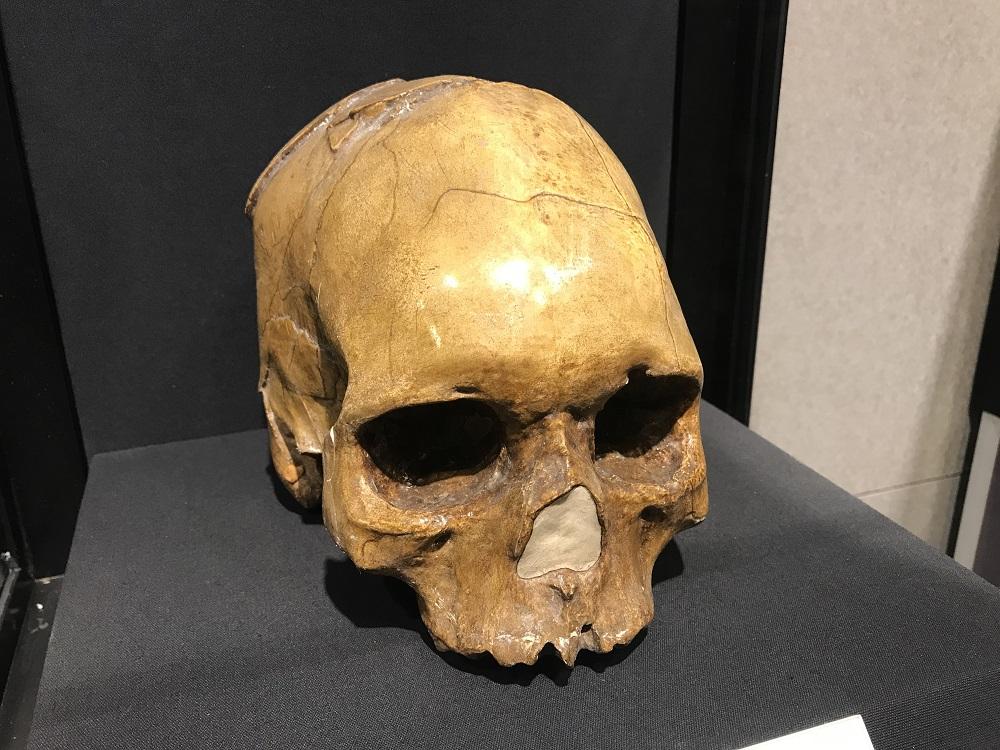Replica Peking Man Skull, Zhoukoudian